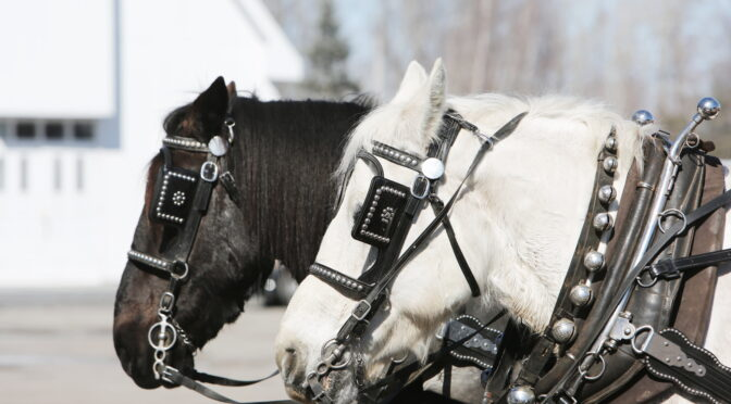 Image of horses in harnesses