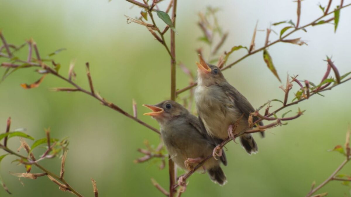 Sparrows on a branch singing