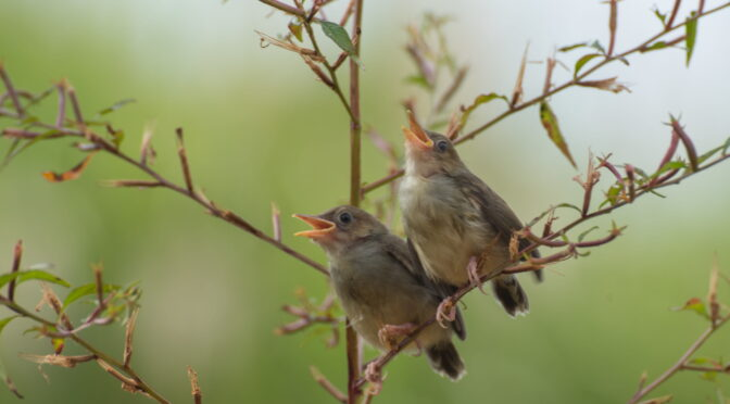 Image of brown birds singing