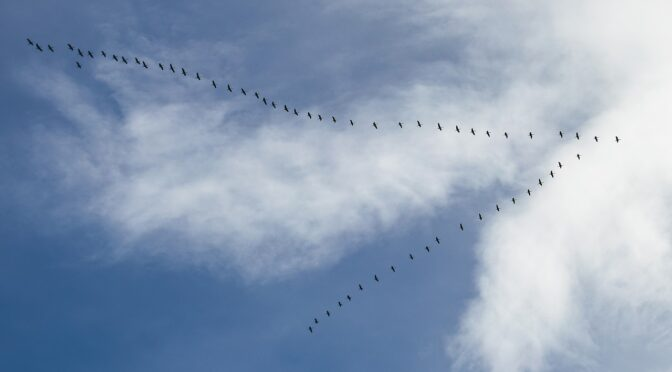 Geese flying in a V formation