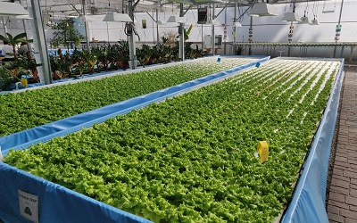 Photo of an aquaponics operation in action. This is where fish excrement is used to fertilse the growing of crops in a symbiotic environment. The image shows rows of lettuce leaves growing just above a tank