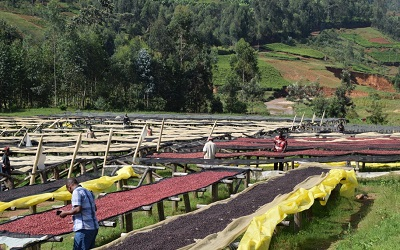 Image shows a thriving coffee farm in Burundi with staff working the land. Credit: counterculturecoffee, licensed under creative commons (CC BY-NC-ND 2.0)