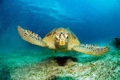 Blue planet turtle