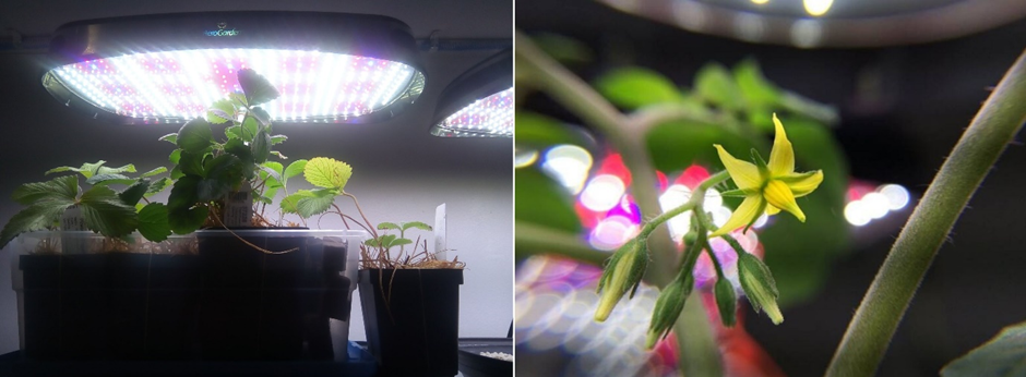 Strawberry and tomato plant growing in the Smart Pot simulating the sunlight
