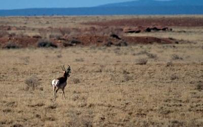 Endangered Sonoran pronghorn. Photo by Florin Chelaru
