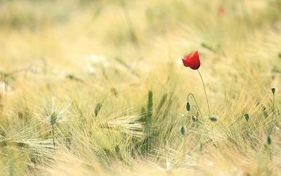Photo of a single poppy in a field