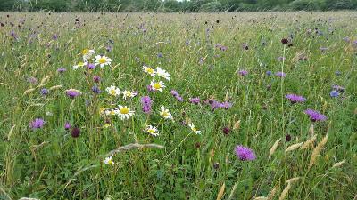 Floodplain meadow flowers. Credit Vicky Bowskill