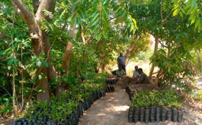 Macadamia Nursery