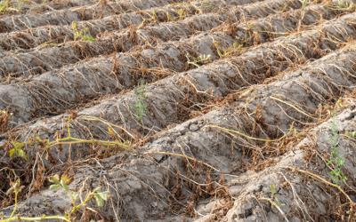 Dried up crop