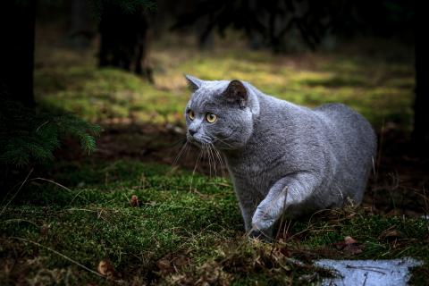 Shutterstock-518269672 Cat hunting in the woods