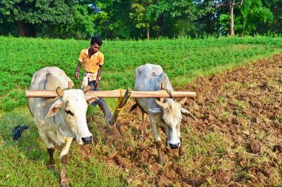 Shutterstock-99150260 Farmer ploughing the farmland with wooden plough and bulls