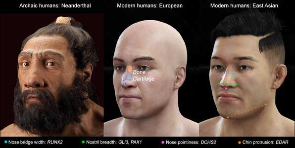 Comparrision of features of Neanderthal and modern humans from Europe and East Asia
